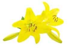 lelui kolor żółty obraz royalty free