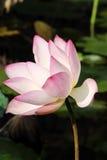 lelui lotosu menchii woda Obraz Stock