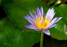 lelui lotosu woda obraz royalty free