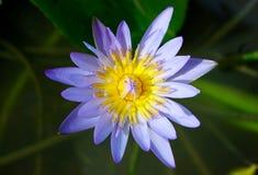 lelui lotosu woda fotografia royalty free