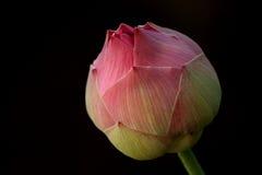 lelui lotosu woda zdjęcia stock