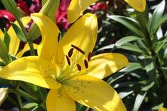 lelui ogrodowy kolor żółty Zdjęcie Royalty Free