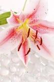 lelui pollen Obraz Stock