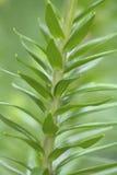 lelui rośliny czajenia tygrys fotografia stock