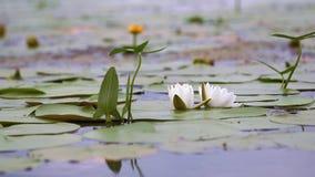 lelui stawu wody biel alba nymphaea Piękna biała wodna leluja i tropikalni klimaty Wodnej lelui tło zbiory