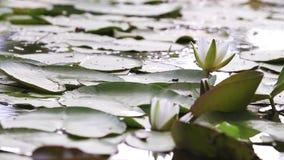lelui stawu wody biel alba nymphaea Piękna biała wodna leluja i tropikalni klimaty Wodnej lelui tło zbiory wideo