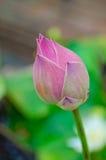 lelui woda różowa słodka tajlandzka Zdjęcia Royalty Free