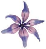 Leluj menchii kwiat Odosobniony przedmiot z ścinek ścieżką na białym tle Piękna leluja dla projekta six-petalslily clo Fotografia Royalty Free