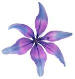 Leluj menchii kwiat Odosobniony przedmiot z ścinek ścieżką na białym tle Piękna leluja dla projekta six-petalslily clos Obraz Royalty Free