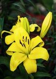 Leluja żółty kwiat Fotografia Stock