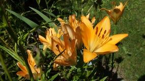 Leluja żółty kwiat obraz royalty free