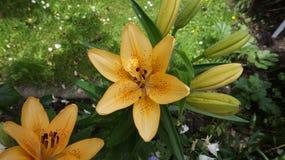 Leluja żółty kwiat zdjęcie royalty free