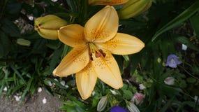 Leluja żółty kwiat zdjęcia stock