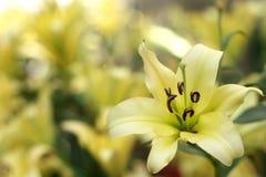 Leluja kwiaty Obrazy Stock