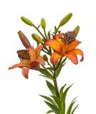 Leluja Azjatyccy hybrydy z kroplami woda i motyl odizolowywali o obraz stock