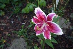 Leluja biały czerwony kwiat zdjęcia royalty free