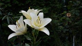 Leluja biały kwiat fotografia stock