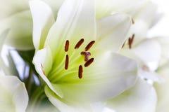 leluja biel Zdjęcie Stock