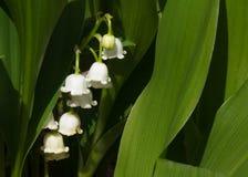 Leluja dolina kwiaty, ulistnienie i obrazy royalty free