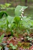Leluja dolina kwitnie w lesie zdjęcia stock