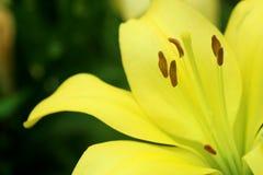 Leluja kolor żółty 1 Zdjęcia Stock