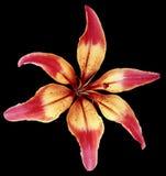 Leluja koloru żółtego kwiat Odosobniony przedmiot z ścinek ścieżką na czarnym tle Piękna leluja dla projekta six-petalslily C Obraz Stock