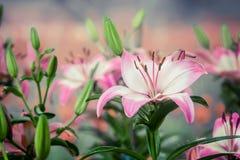 Leluja kwiatów bukiet Zdjęcia Stock