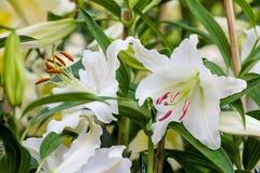 Leluja kwiatów bukiet Obraz Royalty Free