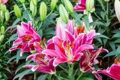 Leluja kwiatów bukiet Zdjęcie Stock