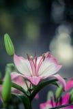 Leluja kwiatów bukiet Obrazy Royalty Free