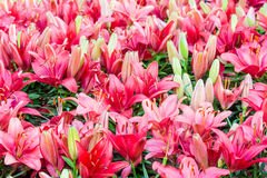 Leluja kwiatów bukiet Zdjęcia Royalty Free