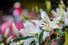 Leluja kwiatów bukiet Fotografia Royalty Free