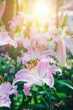 Leluja kwiatów bukiet w ogródzie Obrazy Royalty Free