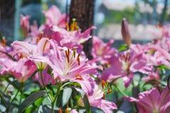 Leluja kwiatów bukiet w ogródzie Zdjęcia Stock