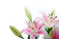 Leluja kwiatów kąta rama Obrazy Royalty Free