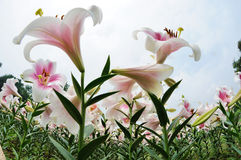 Leluja kwiat Zdjęcie Stock
