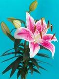 Leluja kwiat odizolowywający na błękitnym tle obraz stock