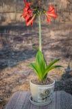 Leluja kwiat, uprawiany w garnku, jest gotowy dla przeflancowywać w otwartą ziemię obrazy stock