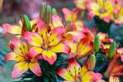 Leluja kwiat w ogr obrazy royalty free