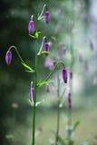 Leluja kwiat z pączkami Obrazy Stock