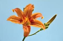 Leluja kwiat z pączkiem na niebieskiego nieba tle w naturze Obraz Stock