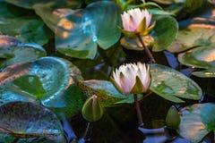 Leluja kwiat z rosa kroplami zamkniętymi w górę fotografia stock