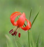 Leluja kwiatu karzeł Zdjęcie Royalty Free