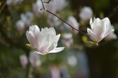 Leluja kwiatu magnoliowy drzewo obrazy royalty free