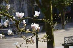 Leluja kwiatu magnoliowy drzewo obrazy stock