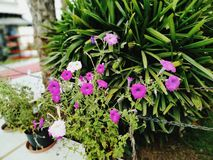 Leluja kwiatu Neptune aksamita piękno zdjęcia royalty free