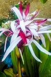 Leluja kwiatu płatka wzór Obraz Stock
