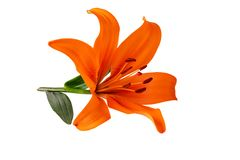 Leluja kwiatu pomara?czowy kolor odizolowywaj?cy na bia?ej ?cinek ?cie?ce zawiera? zdjęcie stock