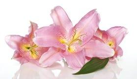 Leluja kwiaty Zdjęcia Stock