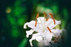 Leluja Kwitnie kwitnienie W ogródzie Lilium jest genus zielne kwiatono?ne ro?liny r od ?ar?wek obrazy stock